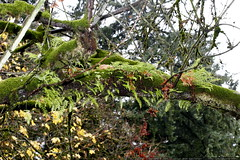 ferns and moss on the limb outside our living room  …
