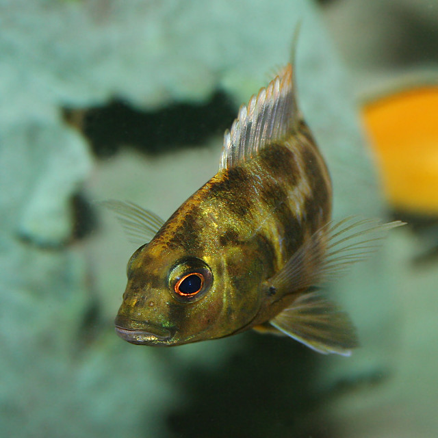 Square Giraffe Female Giraffe Hap in our African Cichlid t? By ...