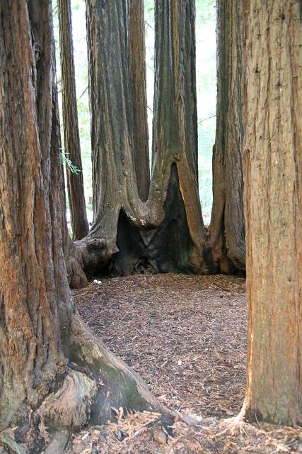 Redwood Fairy Ring