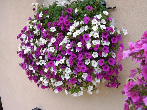 Planta colgante con flores pleno sol o media sombra for Plantas colgantes exterior