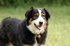 appenzeller sennenhund(0.0), rough collie(0.0), border collie(1.0), dog breed(1.0), animal(1.0), dog(1.0), pet(1.0), scotch collie(1.0), miniature australian shepherd(1.0), entlebucher mountain dog(1.0), australian shepherd(1.0), collie(1.0), english shepherd(1.0), carnivoran(1.0),