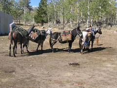 mare(0.0), ranch(0.0), vehicle(0.0), trail riding(0.0), carriage(0.0), mule(1.0), pack animal(1.0), herd(1.0), horse(1.0), horse harness(1.0),