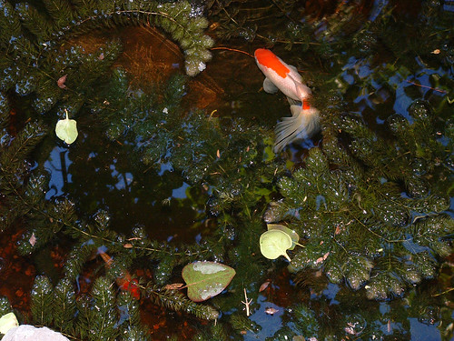 evening pond, with goldfish