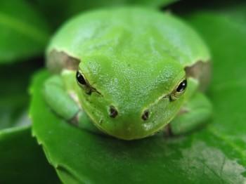 Buda Frog Brusaschensis RF