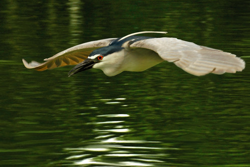 suavely... gliding ♫ heron from bali♫
