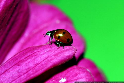 ladybug greenscreen    MG 2892