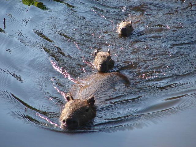 Capybara family on the move - a photo on Flickriver