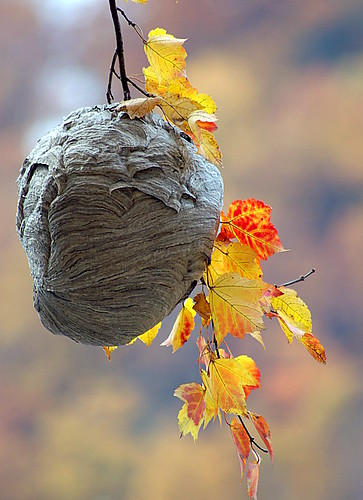 Bee Hive (correction...Hornet's nest)