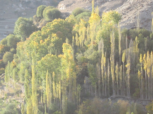 Evening light on poplar trees near Duikar, Karimabad (2)