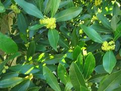 shrub(0.0), produce(0.0), fruit(0.0), food(0.0), evergreen(1.0), flower(1.0), leaf(1.0), tree(1.0), plant(1.0), flora(1.0), bay laurel(1.0),