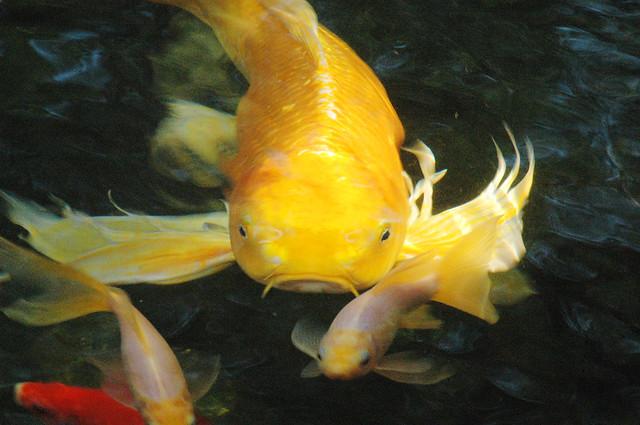 The big yellow koi flickr photo sharing for Yellow koi fish