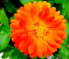 annual plant, calendula, flower, yellow, gerbera, macro photography, herb, flora, petal,