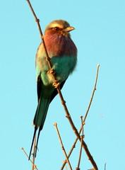 nightingale(0.0), animal(1.0), branch(1.0), fauna(1.0), bluebird(1.0), roller(1.0), beak(1.0), bird(1.0),