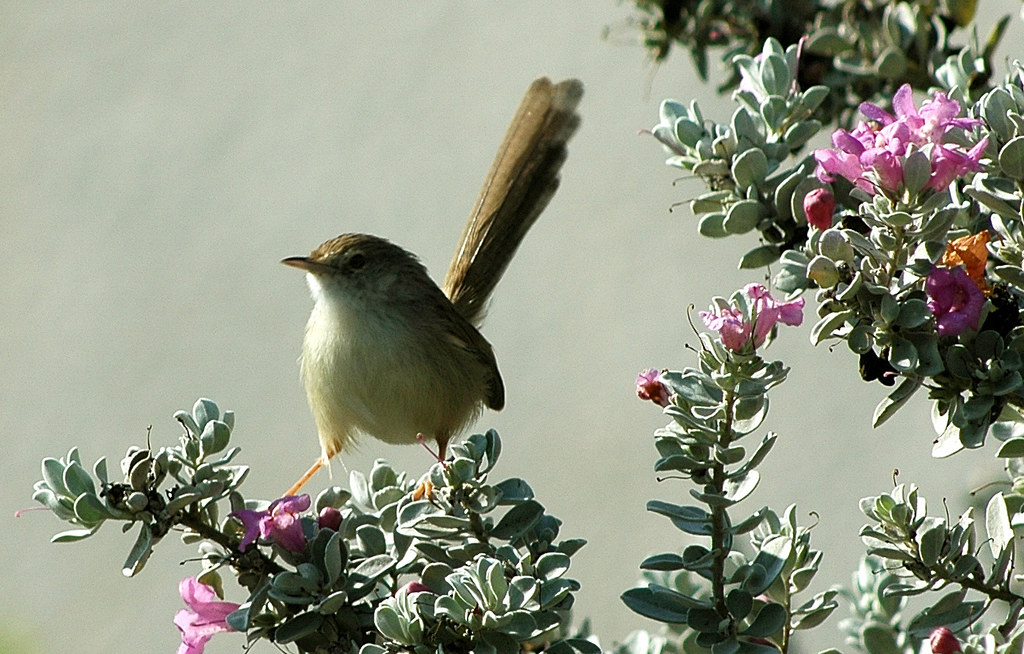 Graceful Warbler on Leucophyllum