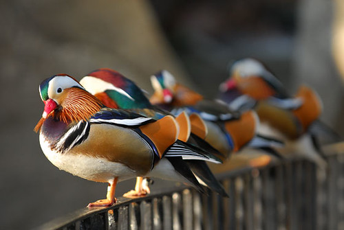 Mandarin Ducks on the fence
