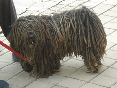 polish lowland sheepdog(0.0), tibetan terrier(0.0), bouvier des flandres(0.0), cã£o da serra de aires(0.0), compact car(0.0), bearded collie(0.0), dog breed(1.0), animal(1.0), dog(1.0), pet(1.0), vulnerable native breeds(1.0), bergamasco shepherd(1.0), puli(1.0), carnivoran(1.0),