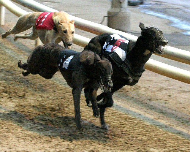 Greyhound Dog Racing Videos