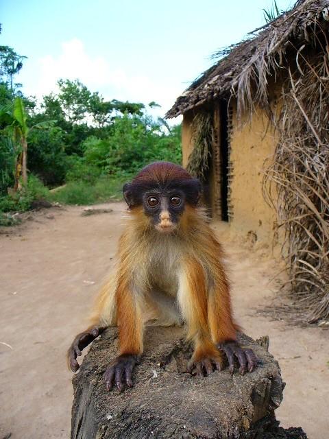 tshuapa red colobus monkey flickr photo sharing. Black Bedroom Furniture Sets. Home Design Ideas