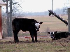 bull(0.0), grazing(0.0), yak(0.0), cattle-like mammal(1.0), animal(1.0), farm(1.0), mammal(1.0), dairy cow(1.0), cattle(1.0), calf(1.0), pasture(1.0),