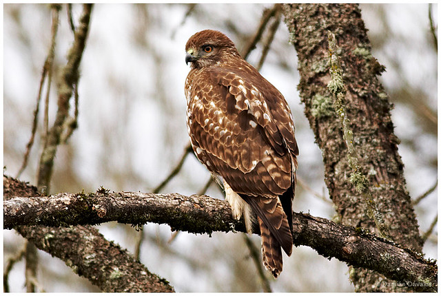 Red Tailed Hawk Perched Red-tailed Hawk - Perc...
