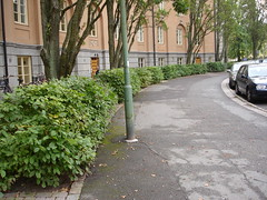 hedge of Carpinus betulus