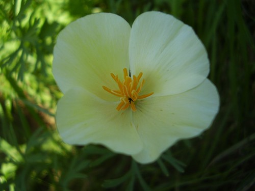 White California Poppy, Eschscholzia californica