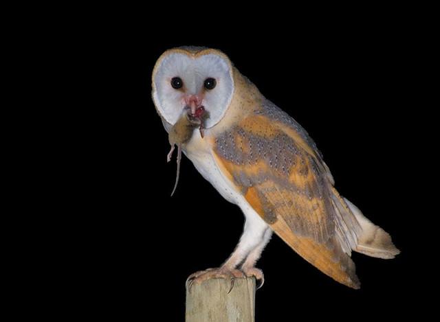 Coruja das torres - Barn Owl - Tyto alba