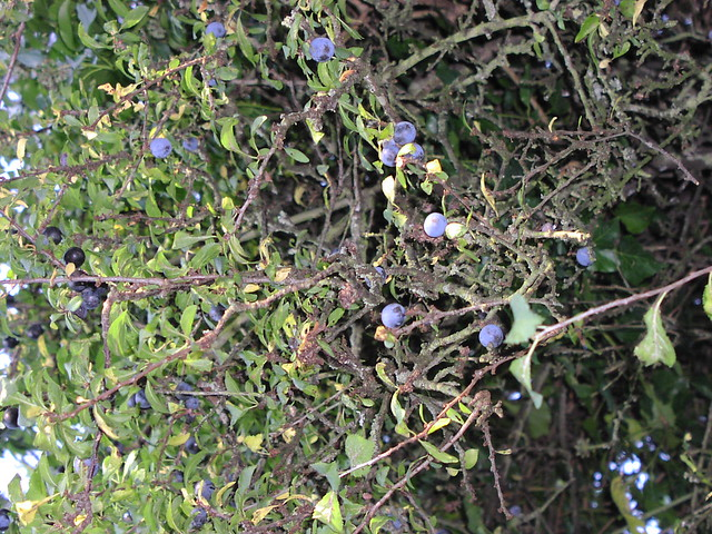 blackthorn tree - photo #31