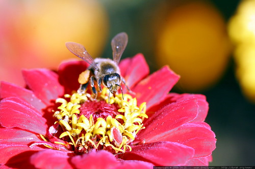 bee on a red zinnia    MG 2425