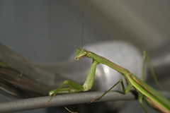 praymantis on my bike.