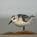 Sanderling (Calidris alba) by m. geven