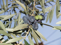 arecales(0.0), blossom(0.0), shrub(0.0), flower(0.0), branch(0.0), plant(0.0), produce(0.0), food(0.0), leaf(1.0), tree(1.0), olive(1.0), macro photography(1.0), flora(1.0), green(1.0), fruit(1.0), close-up(1.0), spring(1.0),