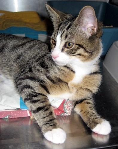 Tabby mix older kitten