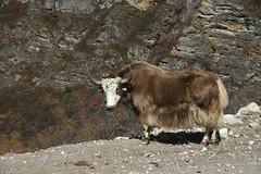 goats(0.0), domestic goat(0.0), mountain goat(0.0), muskox(0.0), cattle-like mammal(1.0), animal(1.0), mammal(1.0), horn(1.0), fauna(1.0), cattle(1.0), yak(1.0), wildlife(1.0),