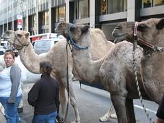 Camels (dromedaries?)