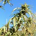 Small photo of Cannabis