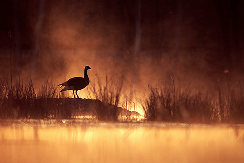 nature birds animal animals sunrise wildlife marsh waterbirds