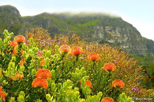 Pincushion Protea (Leucospermum) flowers
