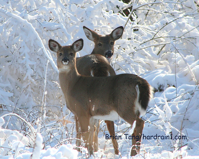 Whitetail in Snow