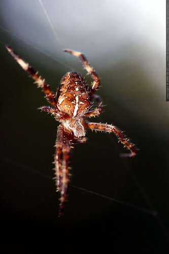 spider on black    mg 1399