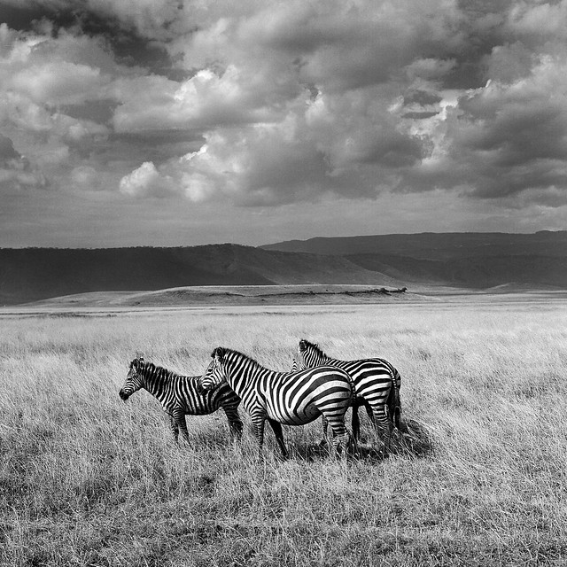 Zebras by leeman73