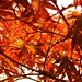 Japanese Maple by Mike Bingley