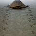 Turtle on the way to the sea by Martin Sheppey