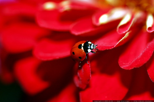 ladybug on red zinnia flower    MG 2754