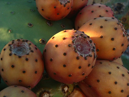 Very Lush Prickly Pear Fruit