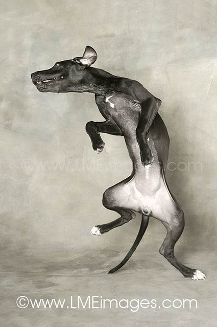 The Dance of the Great Dane