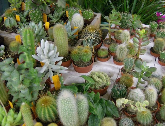 cactus plants for sale. Black Bedroom Furniture Sets. Home Design Ideas