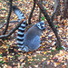 Ringtailed_lemur by lucymaxwell