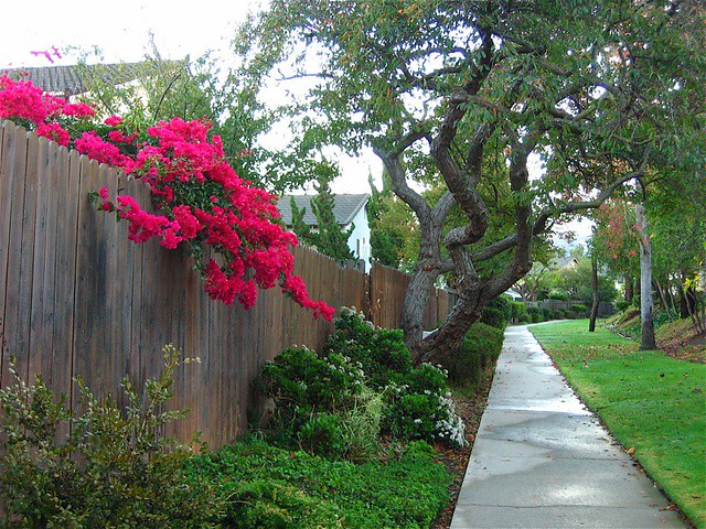 Bougainvillea Over Fence Flickr Photo Sharing