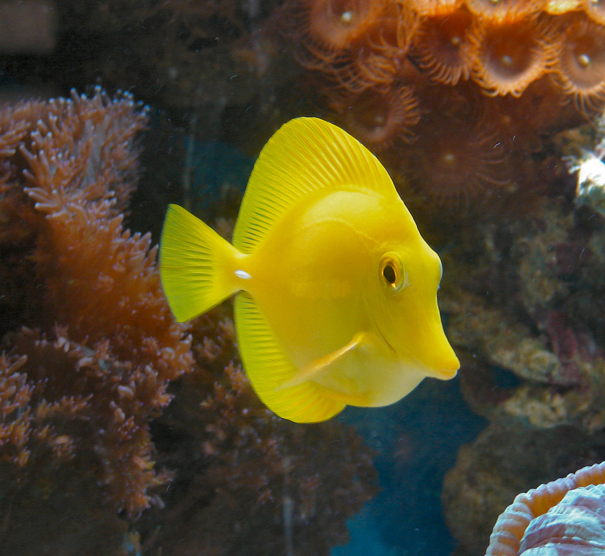 Saltwater aquarium yellow water the free information for Yellow tropical fish